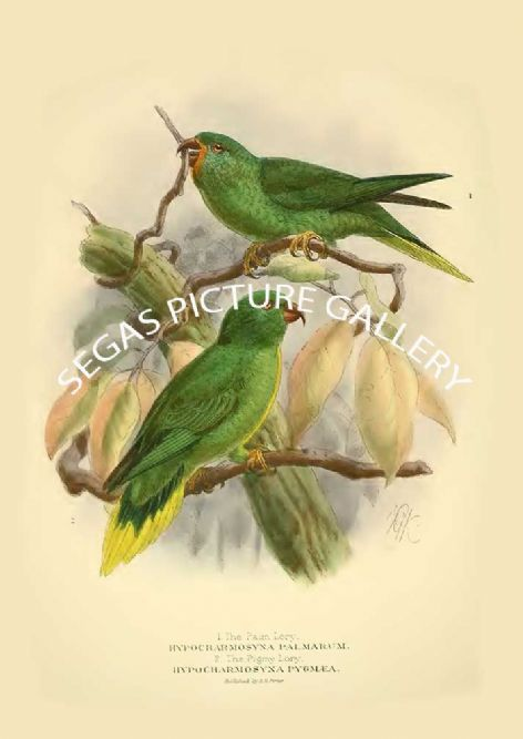 Fine art print of the Palm Lory - Hypocharmosyna palmarum & Pigmy Lory - Hypocharmosyna pygmcea by St George Mivart (1896)
